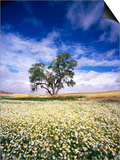 Oak Tree in Field of Daisies Poster by Craig Tuttle