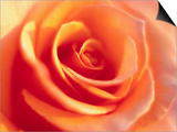 Peach Rose Prints by David Papazian