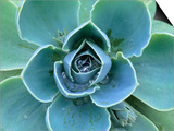 Succulent Echeveria Print by Clay Perry