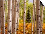 Aspen Forest Prints by William Manning