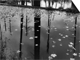 Leaves in Pond, 1956 Prints by Brett Weston