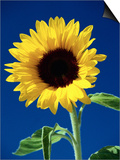 Sunflower Prints by Scott Gibson