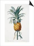 Bromelia ananas Prints by Pierre-Joseph Redouté