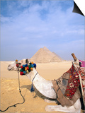 Camel by Great Pyramids Prints by Hisham Ibrahim