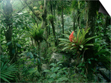 Bromeliads in a Puerto Rican Rainforest Prints by Tom Bean
