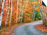 Autumn Trees Lining Country Road Posters by Cindy Kassab