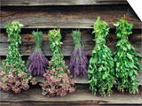 Herbs Drying Upside Down Prints by Clay Perry