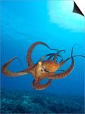 Octopus cyanea or Day Octopus Plakat af Stuart Westmorland