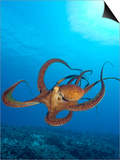 Octopus cyanea or Day Octopus Print by Stuart Westmorland