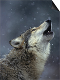 Gray Wolf Howling in Snowfall Prints by Daniel Cox