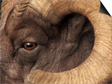 Head of American Bighorn Sheep Prints by Mary Ann McDonald
