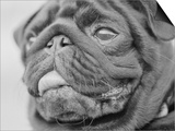 Pug Dog's Face Prints by Henry Horenstein