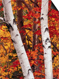 Birch and Maple Trees in Autumn Prints by Darrell Gulin