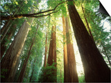 Redwood Forest Posters by Jim Zuckerman