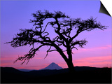 Windswept Pine Tree Framing Mount Hood at Sunset, Columbia River Gorge National Scenic Area, Oregon Art by Steve Terrill