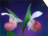 Showy Lady's Slippers, Bruce Peninsula National Park, Michigan, USA Prints by Claudia Adams