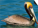Male Brown Pelican in Breeding Plumage, Mexico Art by Charles Sleicher
