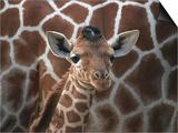 Baby Giraffe at Whipsnade Wild Animal Park Born, June 1996 Prints