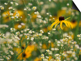 Black-Eyed Susan and Daisy Fleabane Prints by Adam Jones