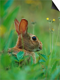 Cottontail Rabbit in the Grass Prints by Joe McDonald