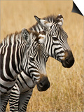 Zebras Herding in the Fields, Maasai Mara, Kenya Art by Joe Restuccia III