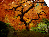 Maple Tree in Autumn Prints by John McAnulty