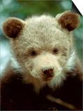 Rescued Grizzly Bear Cub, Montana, USA Prints by Jim Zuckerman