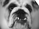 Face of a Bulldog Prints by Henry Horenstein