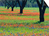 Field of Bluebonnets and Indian Paintbrush Posters by Darrell Gulin