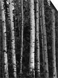 Birch Trees Prints by Brett Weston