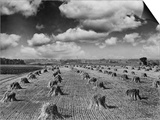 Midwestern Wheat Field at Harvest Time Posters by  Bettmann