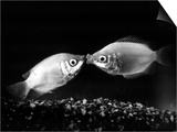 Kissing Gouramis: Romeo on the Right Made a Real Catch, Soon They Will be Swimming Around Together Prints