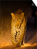 Leopard at Night, Sabi Sabi Reserve, South Africa Prints