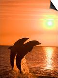 Bottlenose Dolphins, Caribbean Sea Prints by Stuart Westmoreland