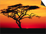 Acacia Tree at Sunset Prints by Jeremy Woodhouse