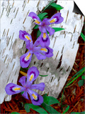 Dwarf Lake Iris Growing Through Birch Bark, Upper Peninsula, Michigan, USA Poster by Jim Zuckerman
