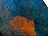 Deep Water Sea Fan and Encrusting Orange Sponge, Hol Chan Marine Preserve, Barrier Reef, Belize Print by Stuart Westmoreland