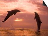 Bottlenose Dolphins, Caribbean Sea Near Roatan, Honduras Art by Stuart Westmoreland