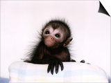 Black Spider Monkey Pedro at Colchester Zoo, 1994 Prints