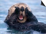 Sea Otters, Alaska, USA Prints by Daisy Gilardini