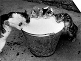 Kittens Slurping from a Pail of Milk Póster