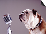 Bulldog Preparing to Sing into Microphone Art by Larry Williams