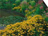 Black-Eyed Susans, Rudbeckia Hirta, and Joe Pye Weed, Holden Arboretum, Cleveland, Ohio, USA Posters by Adam Jones