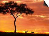 Gazelle Grazing Under Acacia Tree at Sunset, Maasai Mara, Kenya Posters by John & Lisa Merrill
