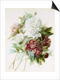 Bouquet of Red, White, and Pink Peonies Art by Pierre-Joseph Redouté