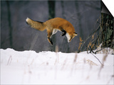 Red Fox Jumping in the Snow Art by John Conrad