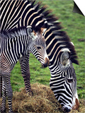 Baby Zebra with Mum Edinburgh Zoo, December 2001 Prints