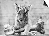 Tiger Cub with Large Bone Art