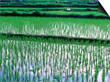 Rice Cultivation, Bali, Indonesia Prints by Jay Sturdevant
