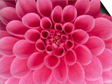 Hot Pink Dahlia Flower Poster by John McAnulty